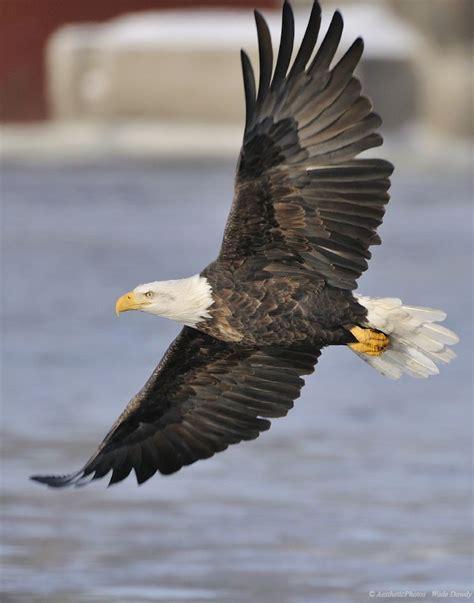 imagenes de agilas blancas bald eagle flying by aesthetic photos wdj4856