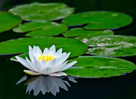 flowers asian water lilies and lotus flowers