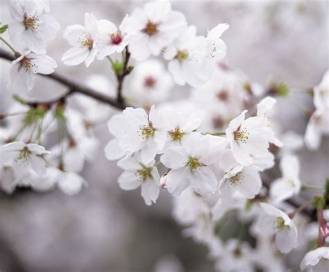 today i am grateful for the white cherry blossom tree