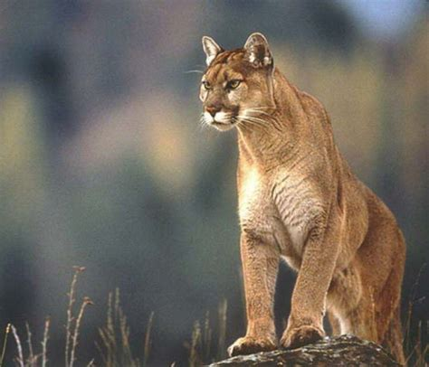 top animals puma animals