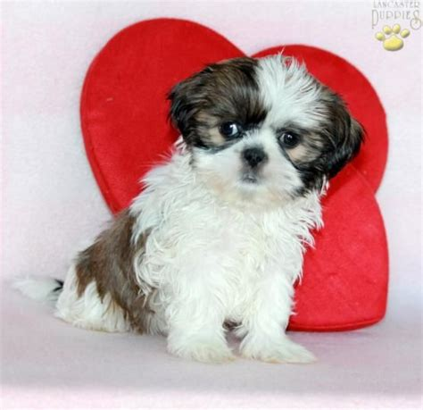 shih tzu barks much 17 best images about shih tzu on cas barking and mike d antoni