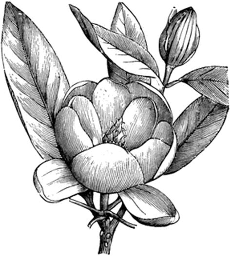 flowering branchlet of magnolia glauca clipart etc