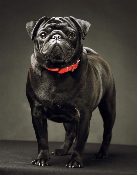 black pug history pug dogs breed information omlet