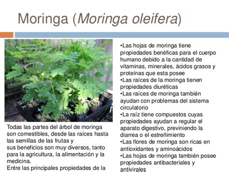 video de la planta de moringa youtube plantas medicinales