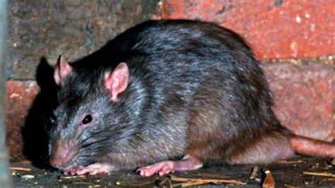 imagenes de ratas halloween so 241 ar con ratas y su significado esoterismos com