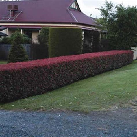 Garden Hedges Gardens And Ideas On Pinterest Hedging Ideas For Gardens