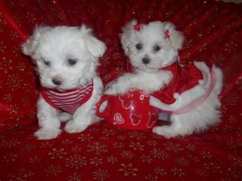 teacup yorkies for sale in detroit michigan 42 best mal shis images on friends animals and shih tzus