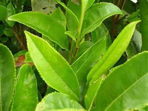 bahan alami  membantu diet  tanaman obat tradisional