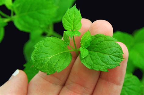where to buy herb plants how to buy mint plants 11 steps wikihow