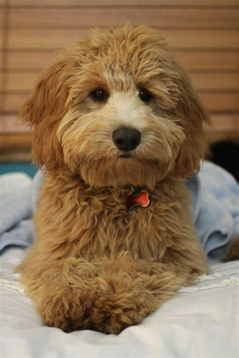 mini goldendoodles bc 1000 ideas about mini goldendoodle on golden