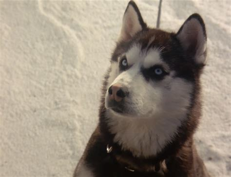 from snow dogs from snow dogs siberian huskies photo 32171002 fanpop