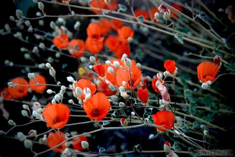 anza borrego desert flowers travel anza borrego san diego uptown news san diego