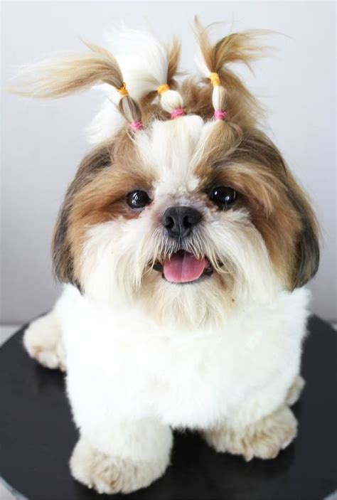 shih tzu ewok haircuts 1000 images about i shih tzu not on pinterest ewok