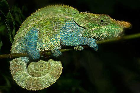 chameleon color change gif www pixshark images