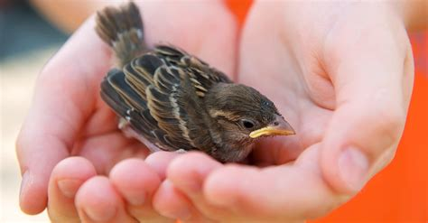 found a baby bird here s what to do the animal rescue