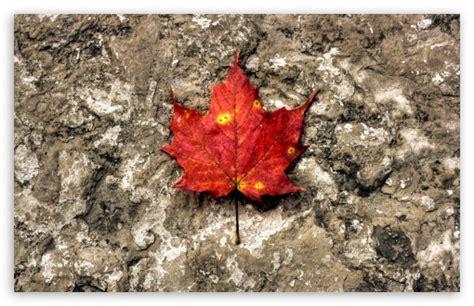red maple leaf  hd desktop wallpaper   ultra hd tv
