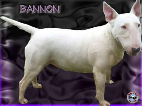 bull terrier puppies for sale in nc bull terrier puppies for sale