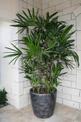 indoor tree low light 17 best images about raphis palms on pinterest garage