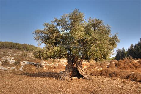 olive tree wallpaper trees and bushes of the holy land