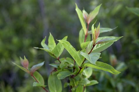 leaves and stems h elegans has winged meaning there is a