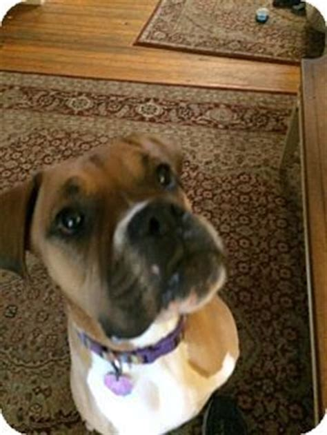 adoption lancaster pa 17 best images about boxers rescue me on puppy for adoption adoption and