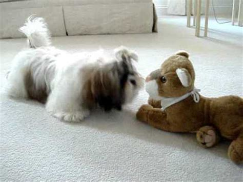 shih tzu likes and dislikes shih tzu puppy discovers stuffed for the time