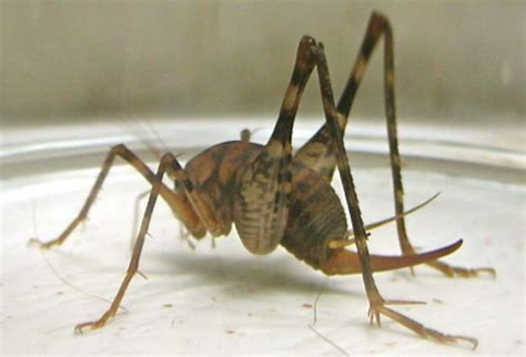 basement crickets camel cricket what s that bug