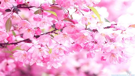 Pink Blossom In Blue pink cherry blossom wallpaper wallpapersafari
