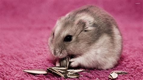 can dogs eat sunflower seeds hamster sunflower seeds wallpaper animal wallpapers 29553
