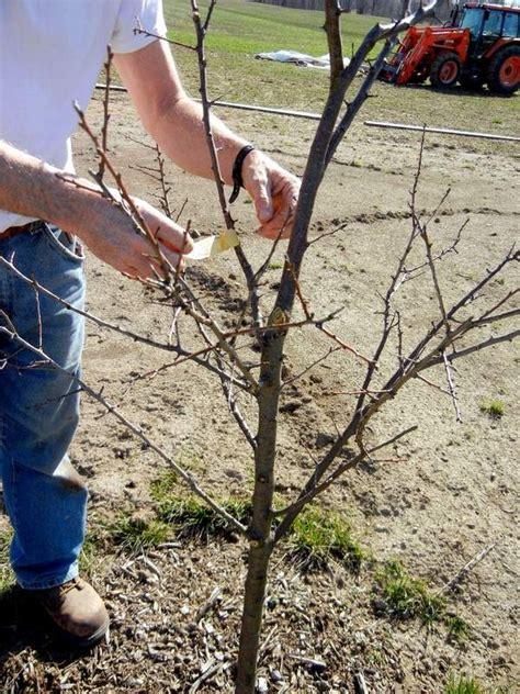 pruning fruit trees pruning fruit trees gardening