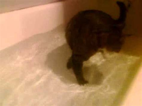 kitten swimming in bathtub my cat swimming funnycat tv