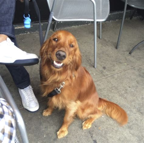 setter x golden retriever of the day milli the golden retriever setter mixthe dogs of san francisco