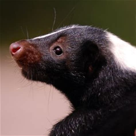 how to get skunk smell out of how to get skunk smell out of leather materials skunks how to get and