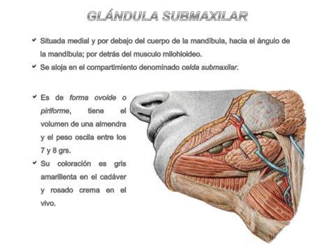 Glandula Submaxilar Anatomia | gl 225 ndulas submaxilar y sublingual