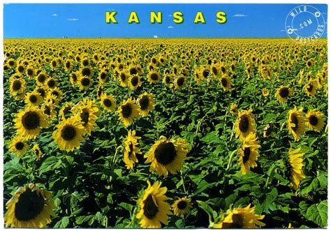 sunflowers in kansas kansas images kansas sunflowers hd wallpaper and