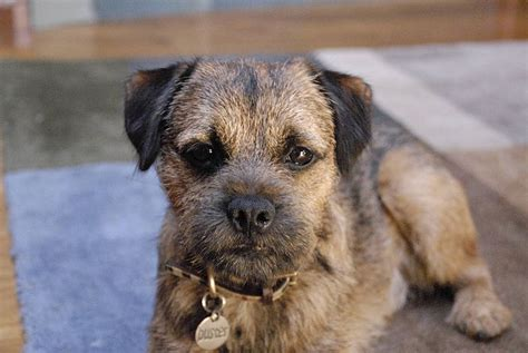Filebuster The Red Grizzle  Ee  Border Ee    Ee  Terrier Ee    Jpg