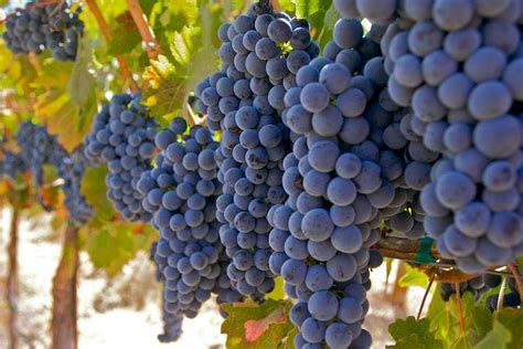 Sale Velly Anggur washington grapes archives musto wine grape company llc