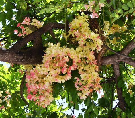 x tree rainbow shower tree cassia x nealiae