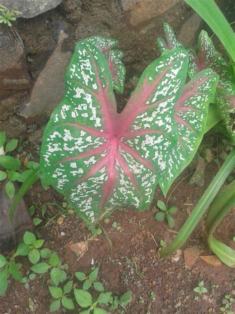 jual pohon keladi merah tanaman hias jenis keladi