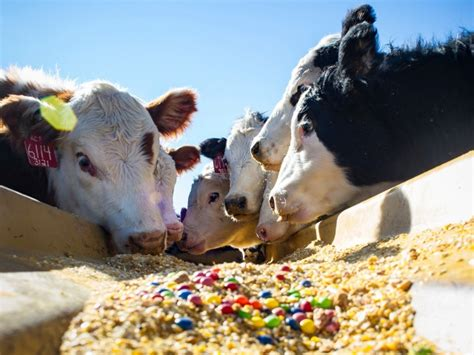 Cow Feed Feeding Cattle Helps Save Producers Dairy