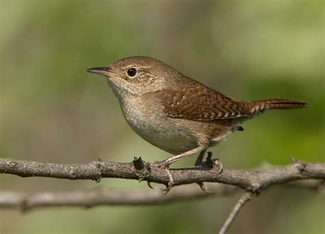 17 best carolina wrens images on pinterest birds