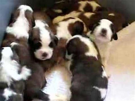 st bernard puppies oregon st bernard puppies
