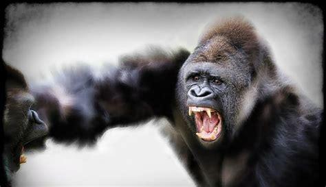 tattoo nightmares gorilla 17 best ideas about silverback gorilla on pinterest