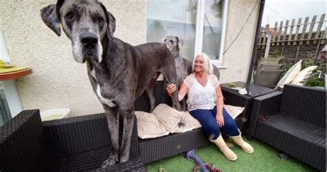 the biggest dog house in the world freddy the great dane is 7 feet tall and the biggest dog in the world