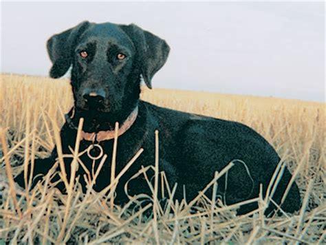 golden retrievers lyons co puppies