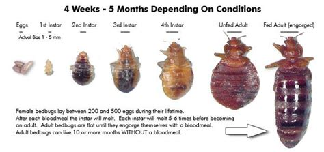 bed bug reproduction bed bug life cycle reproduction gallery bed bugs nyc