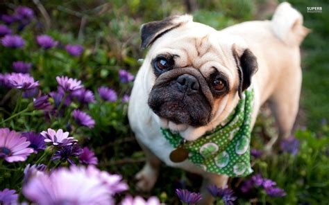 html pug pug puppies wallpaper hd 20 desktop background hivewallpaper