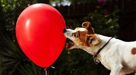 Balon Anjing cetak rekor seekor anjing bikin 100 balon meletus kurang