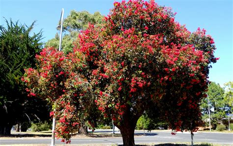 top 10 trees red flowering gum corymbia ficafolia hutchisons naracoorte