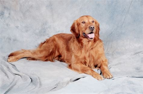 golden retriever stomach problems golden retriever from breeders and for sale with pictures